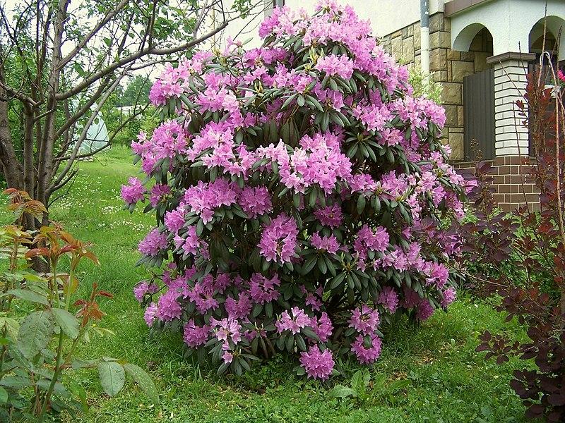 Rhododendron catawbiense_fioletowe kwiaty