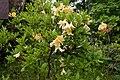 Rhododendron japonicum f. flavum 02.jpg