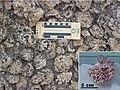 Rhodolites red-algae Miocene Minorca.jpg