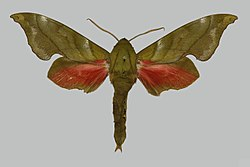 Rhodoprasina callantha BMNHE813640 male up.jpg