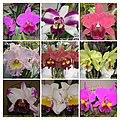 Rhyncholaeliocattleya (Brassolaeliocattleya) cultivars 3 -香港沙田蘭花展 Shatin Orchid Show, Hong Kong- (9207605366).jpg