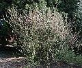 Ribes sqnm.jpg