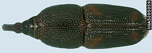 Rice weevil top view.JPG