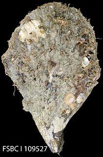 <i>Atrina rigida</i> species of mollusc