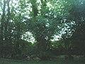 Roadside Hedgerow and Trees - geograph.org.uk - 1414016.jpg