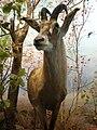 Roan Antelope 1 CAS.JPG