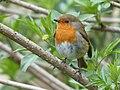 Robin in Skipton Yorkshire.jpg