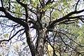 Robinia pseudoacacia - Bagrem (3), Niš, Srbija.jpg
