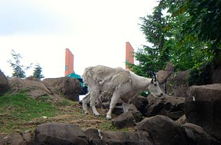 Rocky Mountain Goat 01782.JPG