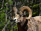 Rocky mountain bighorn sheep.jpg