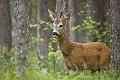 Roe deer buck.jpg