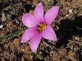 Romulea rosea Middelberg Pass 02.jpg