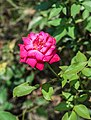 Rosa 'Dame de Coeur' 11092014.jpg
