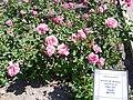Rosa 'Rosa de Friera' Dot 1956 RPO.jpg