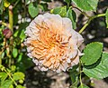 Rosa 'Tea Clipper' in Dunedin Botanic Garden 03.jpg