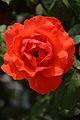 Rosa - Shimla 2014-05-07 1162.JPG