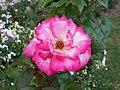 Rosa Handel 2018-07-10 5961.jpg