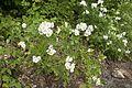 Rosa multiflora 04.jpg