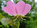 Rosa rubiginosa inflorescence (09).jpg