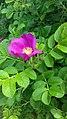 Rosa rugosa inflorescence (22).jpg