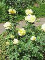 Rosa sp.167.jpg