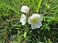 Rosa spinosissima inflorescence (26).jpg