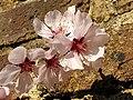 Rosales - Prunus dulcis 'Ingrid' - 3.jpg