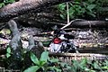 Rose-breasted Grosbeak (male) Boy Scout Woods High Island TX 2018-04-11 12-49-52 (26932528377).jpg