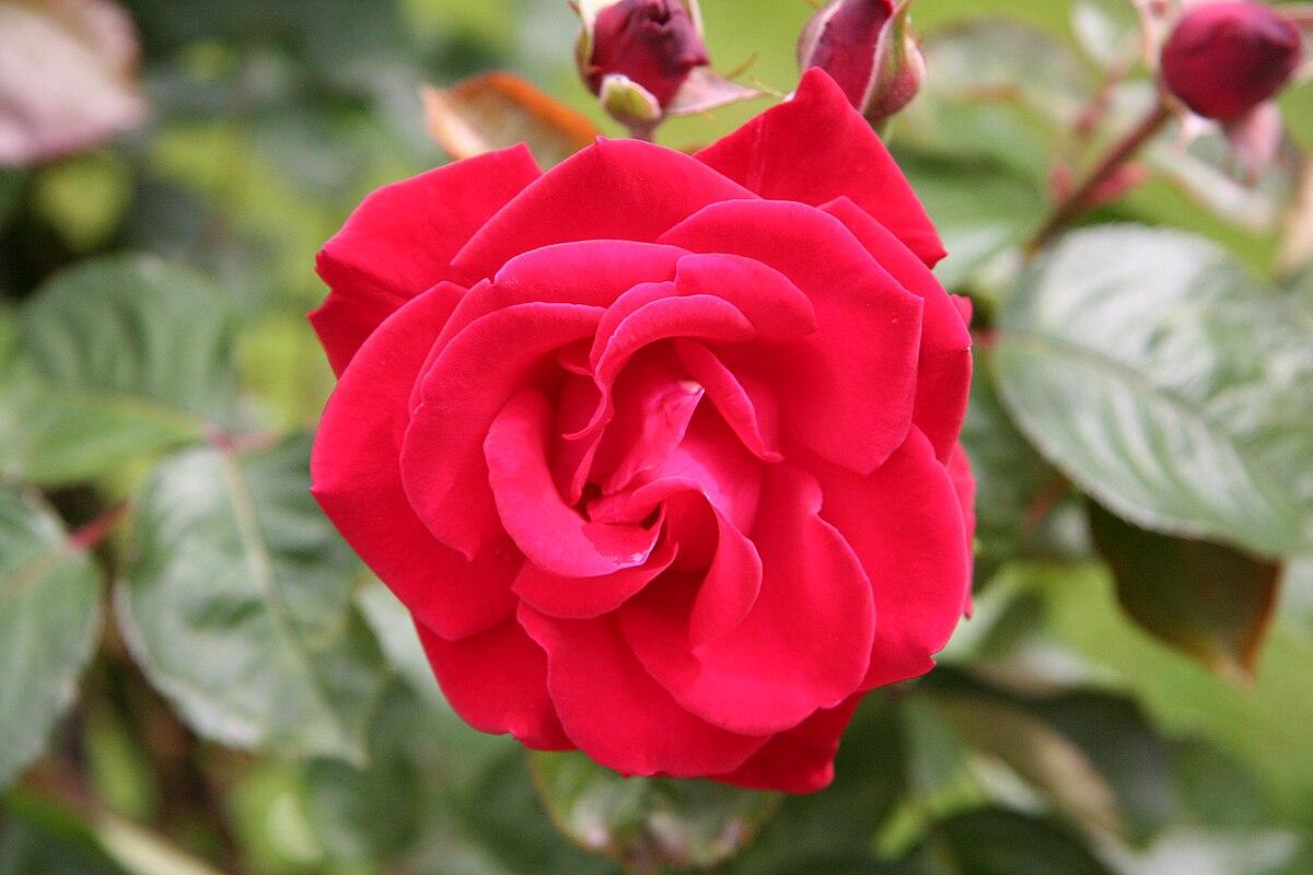 роза гранд даника фото плоды еще незрелые