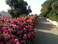 Roses in ganhavradim.JPG