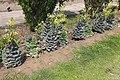 Row of fully-grown Kale Flower (Brassica oleracea).jpg