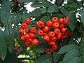 Rowan berries, Omagh - geograph.org.uk - 916038.jpg