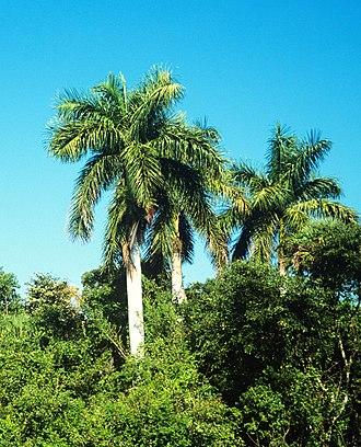 Roystonea regia - Native habitat in Collier-Seminole State Park, Florida
