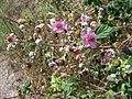 Rubus-ulmifolius-1.JPG