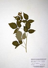 Rubus idaeus ssp. strigosus BW-1979-0429-0635.jpg