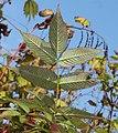 Rubus illecebrosus (leaf s3).jpg