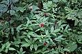Rubus illecebrosus s2.jpg