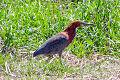 Rufescent Tiger Heron (Tigrisoma lineatum) (8077526249).jpg