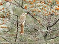 Rufous-tailed Shrike (Lanius isabellinus) (31517013488).jpg