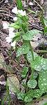 Ruhland, Grenzstr. 3, Geflecktes Lungenkraut im Garten, Pflanze weiß blühend, Frühling, 02.jpg
