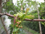 Ruhland, Grenzstr. 3, Kräuselkrankheit an Nektarine, befallene Blätter, Frühling, 01.jpg