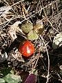 Ruscus aculeatus fruit 2021.JPG
