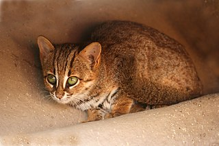 Rusty-spotted cat Small wild cat