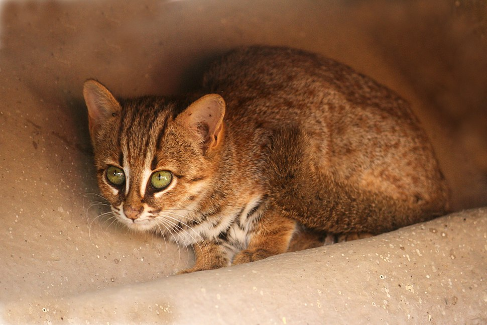 Rusty spotted cat 1