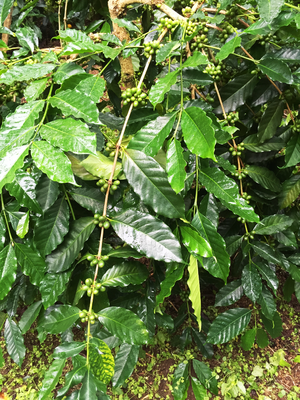 S795 coffee - A branch of S795 coffee shrub with well developing nodes.