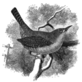 SMO V12 D699 Common house-wren.png