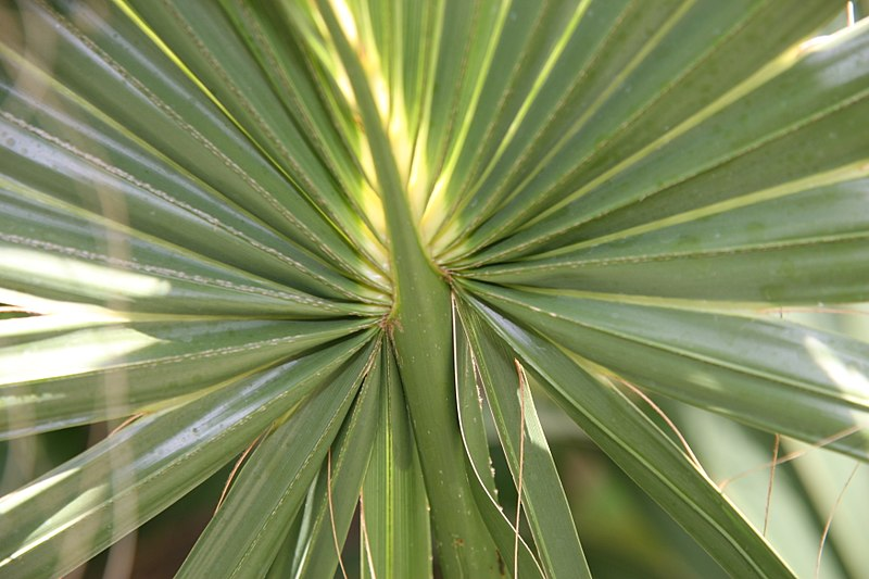 File:Sabal palmetto 28zz.jpg