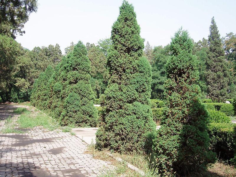 arbre genévrier de chine