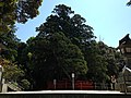 "Sacred tree ""Ayasugi"" in Kashii Shrine 20150426-2.JPG"