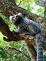 Sagui-de-tufos-brancos (Callithrix jacchus).jpg